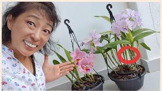 Técnica Simples e Eficaz Para Fazer as Orquídeas Florirem com Abundância