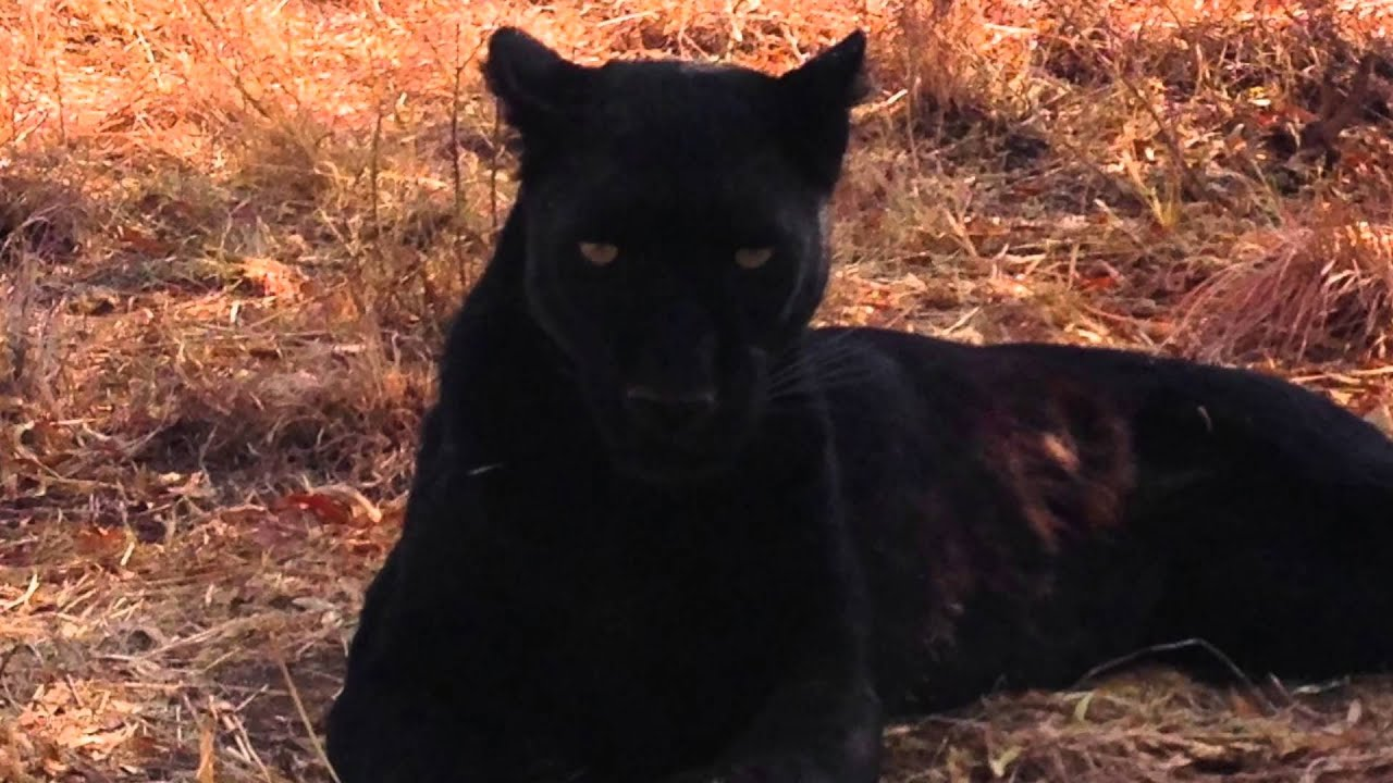Kevin Richardsons Black Leopard  Lion Whisperer  South -6525