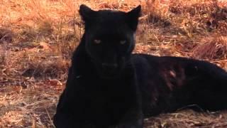 Kevin Richardson's BLACK LEOPARD | Lion Whisperer | South Africa