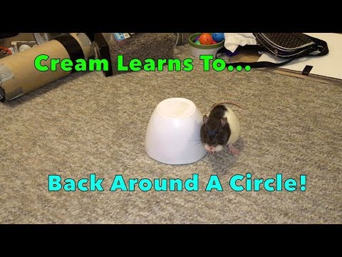 Cream Learns To...Back Around A Circle!