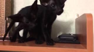 Ориентальные котята, питомник elfandale