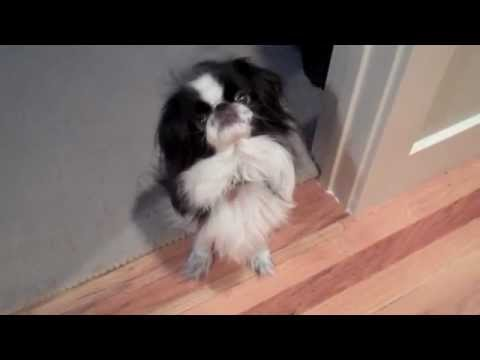 Bonzai The Japanese Chin Dog: 'Chin Spinning' for Dinner