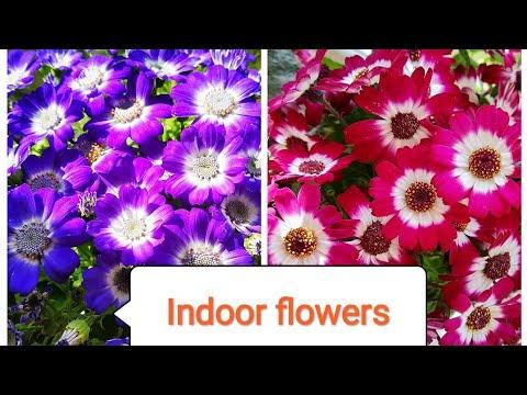 बिना घूप फूल देगा ये पौधा Indoor flowering plant Cineraria/Organic gardening landscap