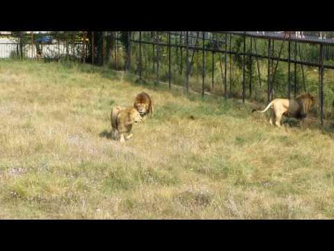 видео: Разборки диких львов в зоопарке Тайган.