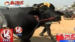 """YUVRAJ""  The 7 Crore Worth Murrah Buffalo    Teenmaar News    V6 News"