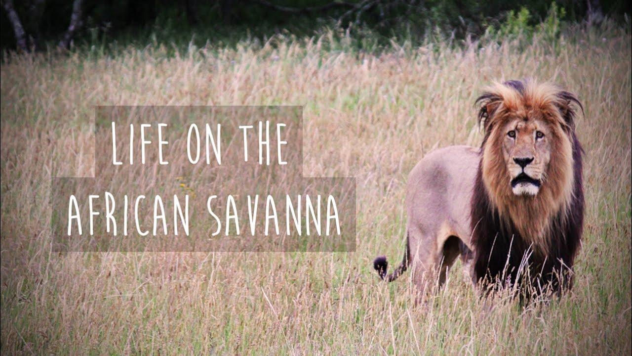 savannas life