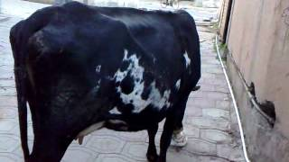 cow a writting allah and mohhamad