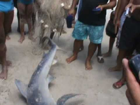 Tubarão em Madre de Deus Bahia