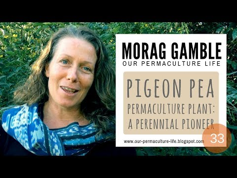 Pigeon Pea - a perennial permaculture pioneer plant with Morag Gamble