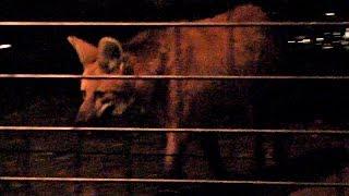 「真夏の夜の動物園」にて。意外と見られない活動的なタテガミオオカミ...