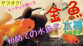 金魚 水槽 金魚飼育 初めての金魚水槽 水換え 水合わせ