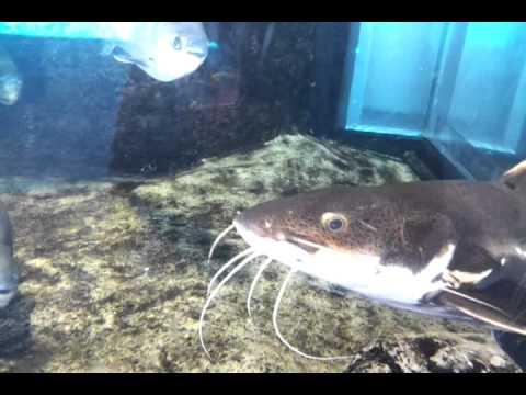 acquario genova pesce gatto youtube