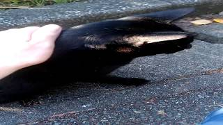 Petting A Black Stray Japanese Cat
