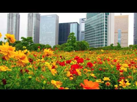 TOKYO JAPAN 東京都・浜離宮恩賜公園のキバナコスモス Tokyo Cosmos Flowers  東京観光