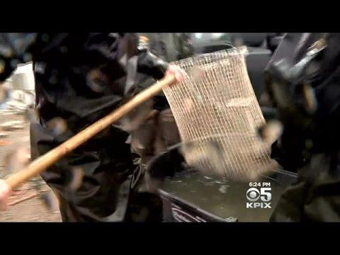 Department Of Fish & Wildlife Save Stranded Salmon Near Sacramento