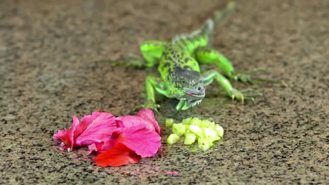 Iguana Competitive Eating Lizard Eats Hibiscus Youtube