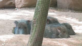 Chacoan Peccary La Zoo