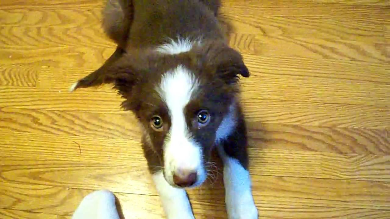 Luna 10 Weeks Old Red Border Collie Puppy Youtube