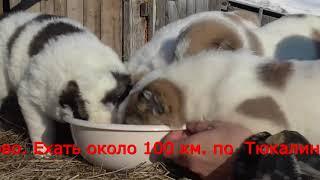 Щенки Среднеазиатской овчарки-алабай