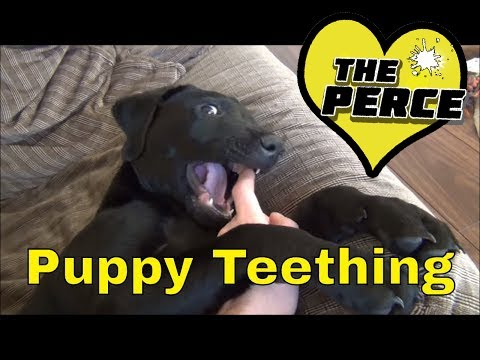 percy-the-black-labrador-puppy.-how-to-stop-a-puppy-biting-during-teething.