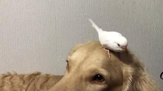 チェサピークベイレトリバーのRay&セキセイインコのわたあめ♡ わたあめ...