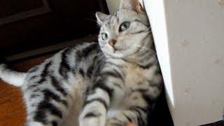 悩殺ゴロゴロポーズを連発する猫 -Cat lies down too much