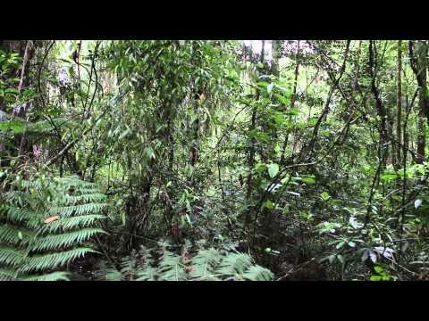 Birdsong Puketi Kauri Forest