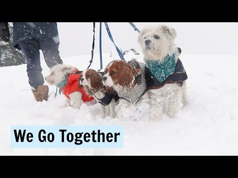 Dog Pack   We Go Together   Herky & Milton the puppy Cavalier King Charles Spaniels