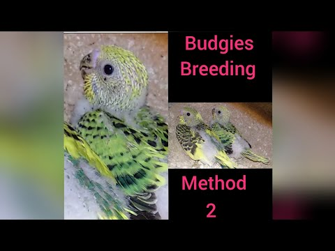 Repeat EPS-17 zebra finches and budgies breeding time by