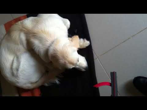 GUILTY DOG !! Golden Retriever caught chewing slipper !