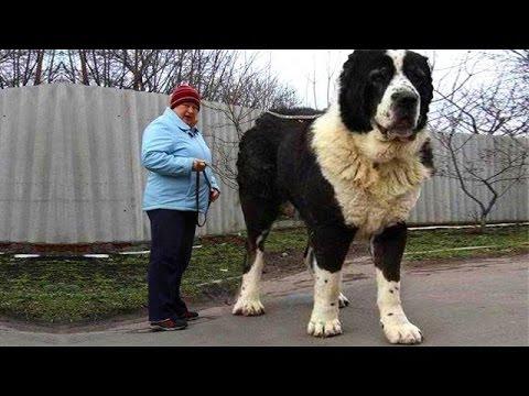 В нашем питомнике вы можете купить щенка среднеазиатской овчарки ( алабая), туркменского волкодава.