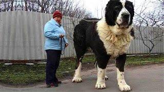 Мужик купил щенка казахского алабая и вырос монстр