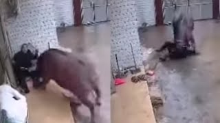 Buffalo Escapes slaughter house and Kills owner!!!