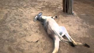 Funniest kangaroo chilled out poop. thumbnail