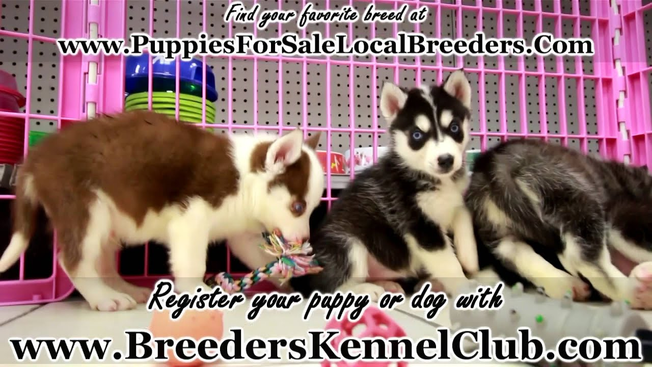Siberian Husky PUPPIES FOR SALE IN GEORGIA PUPPY BREEDERS