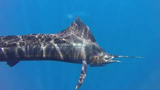TALES OF SAILFISH TAILS