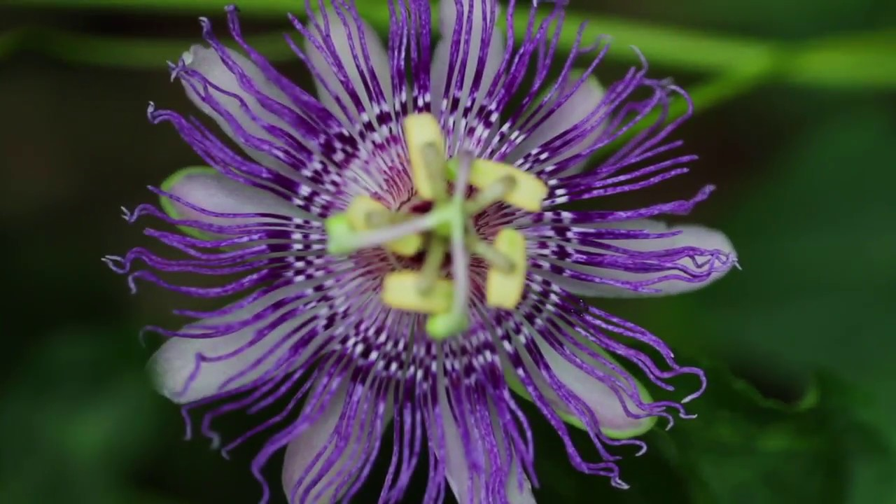 Passion Flower Passiflora Incarnata Youtube