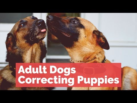 Adult Dogs Correcting Puppies