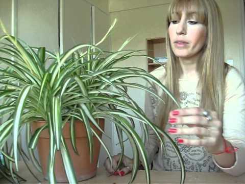 Plantas de Interior - Cintas - Cuidados - YouTube