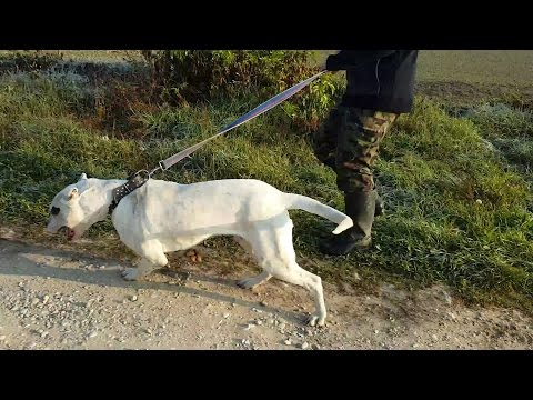 Walking with Bodubuilder Dogo Argentino - STRONG MUSCLES