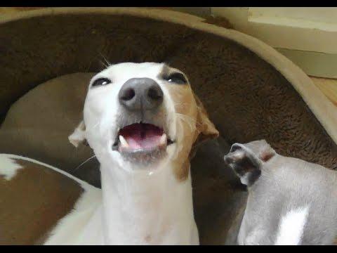 Italian Greyhound Speckle Smackin her dog lips .......