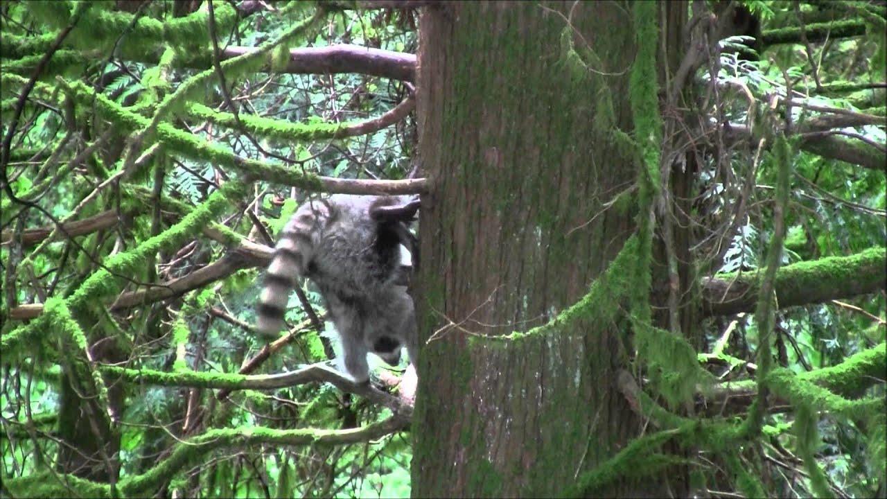 Raccoons in the Trees (Backyard) - YouTube
