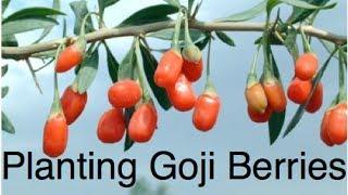 Planting Goji ( Wolf ) Berries in Raised Beds in the Alberta Urban Garden Lycium barbarum