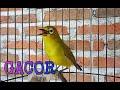 Pleci Ngeplong Gacor  Mp3 - Mp4 Download
