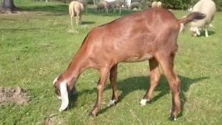 Birka Carmen - Koza anglonubijska