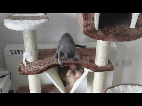 Introducing two cats: cats playing together for the first time