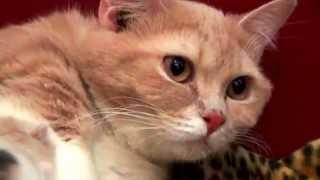 Мама манчкин с котятами. Помет 30.05.14 Yagodka Loving You Murmulet
