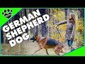 Dogs 101: German Shepherd Dog (GSD) - Animal Facts