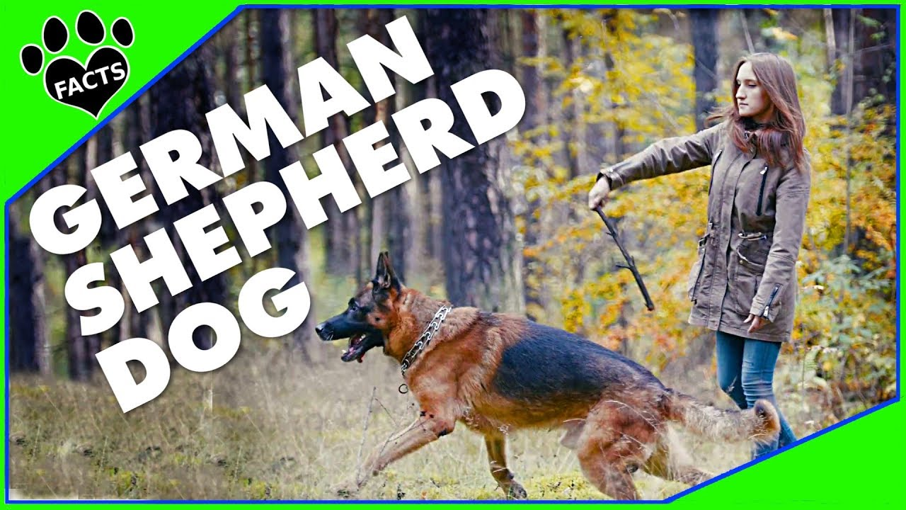 Dogs 101: German Shepherd Dog (GSD) - Animal Facts