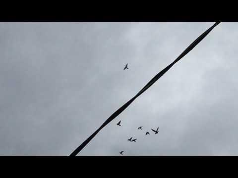 #Pigeon.Гон голубей это искусство.